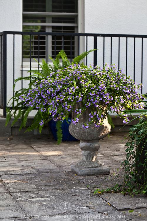 Blue Scaevola flowers in concrete urn
