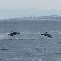 striped dolphins, Stenella coeruleoalba, Azores Islands, Portugal, North Atlantic Ocean &amp;#xD;&copy; KIKE CALVO &amp;#xD;<br />
