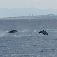 striped dolphins, Stenella coeruleoalba, Azores Islands, Portugal, North Atlantic Ocean &amp;#xD;&copy; KIKE CALVO &amp;#xD;<br />