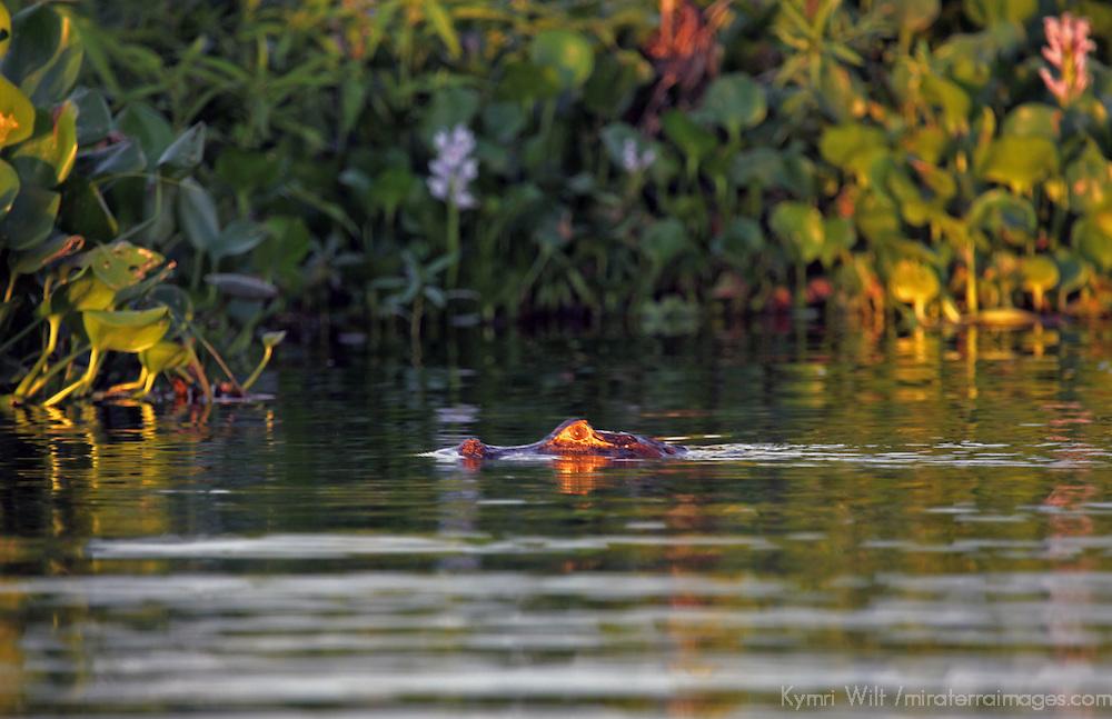 South America, Brazil, Pantanal.  A caiman skims the surface of a Pantanal Lake.