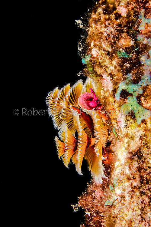 Macro photograph of Christmas tree worm cluster.
