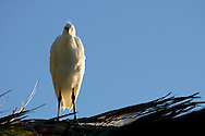 Snowy Egret (Egretta thula) in Palm Tree, Palo Alto Baylands Preserve, California