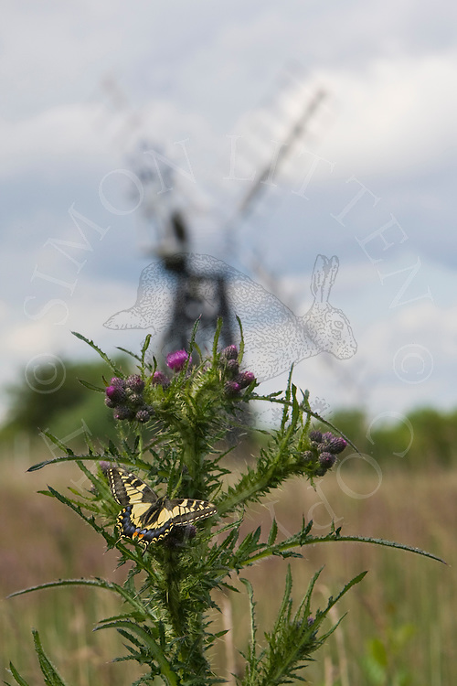 Common Swallowtail (Papilio machaon) adult, feeding on Marsh Thistle (Cirsium palustre),  with windpump in background. Norfolk Broads N.P.