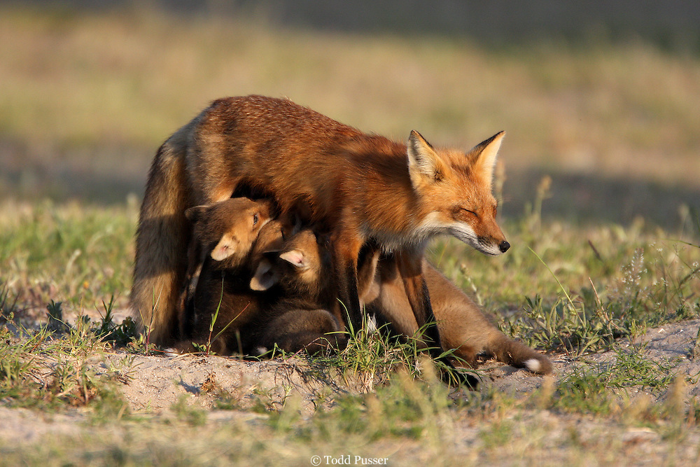 Red fox (Vulpes vulpes) nursing young pups. Fort Fisher, North Carolina
