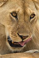 Young lion, Ndutu, Tanzania<br /> LIMITED EDITION PRINT
