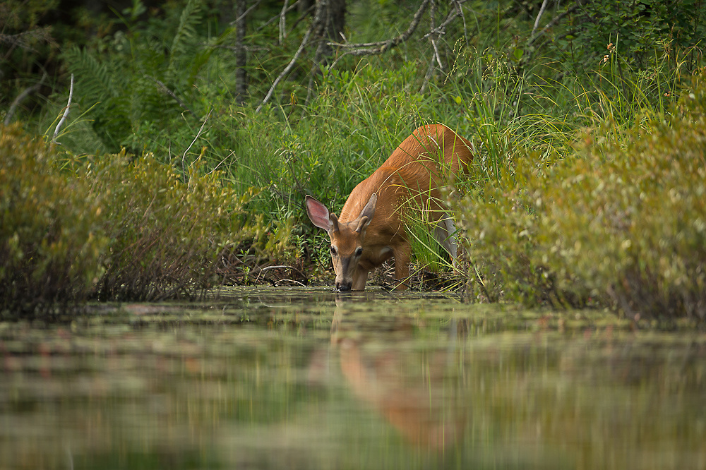 White Tail deer on Helldiver Pond in Moose river plains.