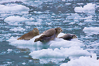 Three harbor seals in Alaska taking it easy.