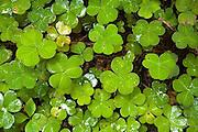 clover leaves, Redwood National Park