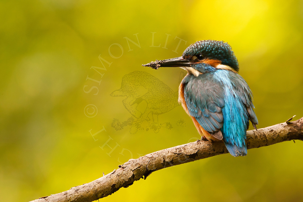 Common Kingfisher (Alcedo atthis) adult perched on branch overhanging river, Norfolk Broads N.P., UK.
