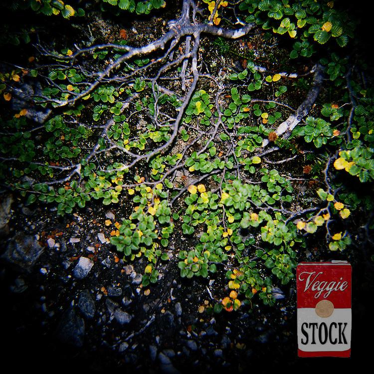 Fagus, Cradle Mountain National Park, Tasmania, April 2009. Fagus, Deciduous Beech (Nothofagus gunii) is the only Australian winter deciduous tree. It is endemic to Tasmania. <br /> credit: Megan Young
