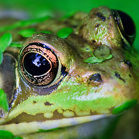 An extreme close-up of the face of a green frog (Rana clamitans) covered in common duckweed (Lemna minor) at the edge of a small pond, Huntley Meadows Park, Alexandria, Virginia.  Reflection of the forest canopy shows in the frog's eye.