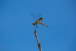 The arrival of dragonflies in the Kimberley signifies the beginning of the dry season.