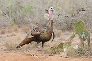 Wild Turkey (Meleagris gallopavo)<br /> TEXAS: Hidalgo Co.<br /> Las Colmenas Ranch<br /> 14-March-2006<br /> J.C. Abbott #2248