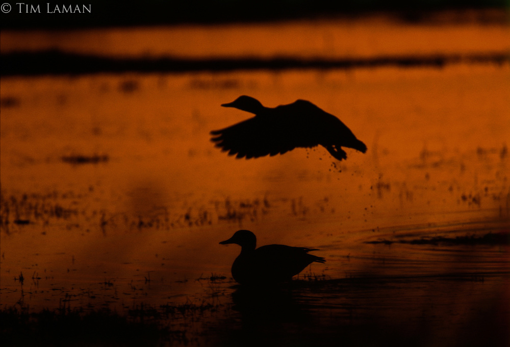 A silhouetted duck landing at twilight in water near a seated duck.