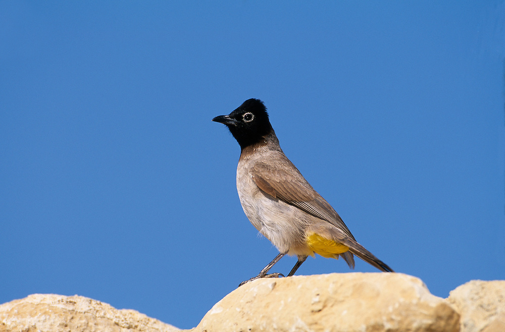 Common bulbul perched on rocks, Israel......A98-01-PYCBAR-002.JPG NIALL BENVIE COMMON BULBUL PERCHED ON ROCKS, ISRAEL PORTFOLIO PYCNONOTUS BARBATUS XANTHOPYGOS MIDDLE EAST JUDAEA EIN GEDI BIRD PASSERINE HORIZONTAL ABOVE WATCHING CAUTIOUS ALERT WARY VENT EYE-RING BROWN BLUE YELLOW WILD ADULT ONE PERCHING OASIS WADI DESERT DRY 2004 MARCH SPRING.. Add () this image to a lightbox. Close this window... .. ..