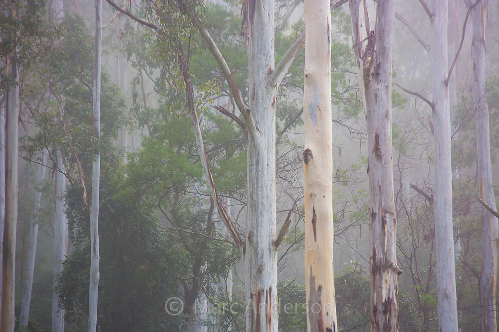 Tall moist eucalypt forest in early morning mist, Watagans National Park, near the Central Coast of NSW, Australia