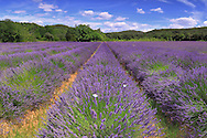 A very common view for the Provence and Rhone-Alps regions in southern France, as in summer there are lavender fields everywhere in the countryside. Nonetheless, an awesome sight to see, and a wonderful playground for every landscape photographer. I took this picture at the beginning of July - the best period indeed for photograhing lavender fields - in some nice partially diffused light at noon..