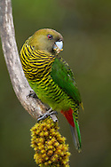 Portrait of a brehm's tiger parrot (Psittacella brehmii) perched on a branch, Papua New Guinea