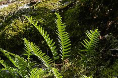 Eikvarenfamilie, Polypodiaceae