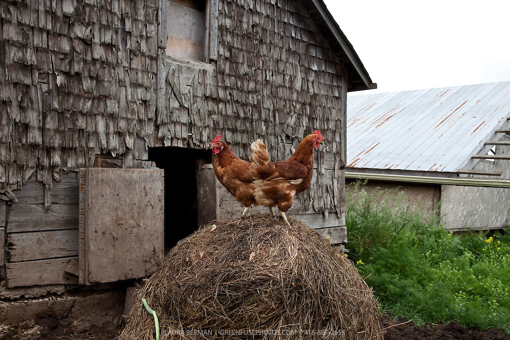 Two chickens standing on top of a hay pile and facing in opposite directions.