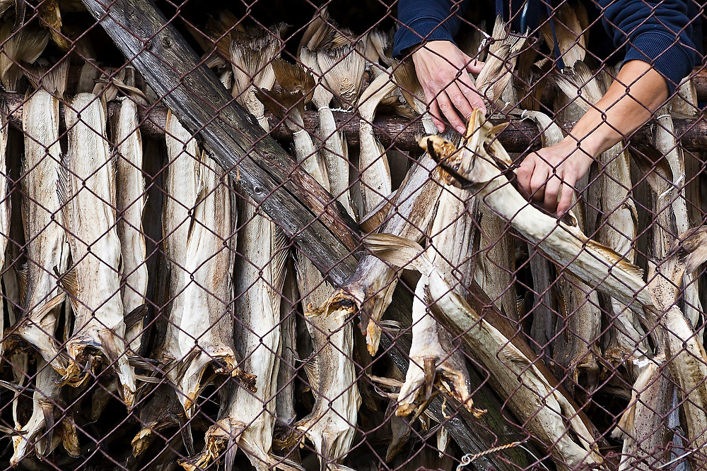 A man pulls stockfish from drying racks in Å, Lofoten Islands, Norway.