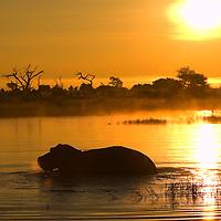 A hippopotamus (Hippopotamus amphibius) in silhouette walking through the water at sunrise, Botswana