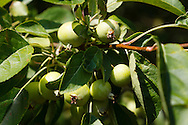 Small apples on a tree in cluster.