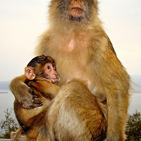 Mother Barbary Macaque Monkey Nursing Infant at Rock of Gibraltar, Gibraltar <br /> This mother nursing her baby are among the last three hundred Barbary macaque monkeys living wild in Europe at the Rock of Gibraltar.  Located at the mouth of the Mediterranean, Gibraltar is a 2.6 mile British Overseas Territory under the United Kingdom&rsquo;s sovereignty. The five troops of monkeys living there are fun to watch. The younger ones resemble hyperactive children on a playground.