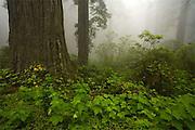 Del Norte Coast Redwood State Park, California