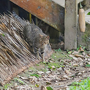 Domestic cat, walking on roof thatching, village in Amazonia, Peru, tabby.