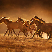 WIld Mustangs from the Sulphur Herd