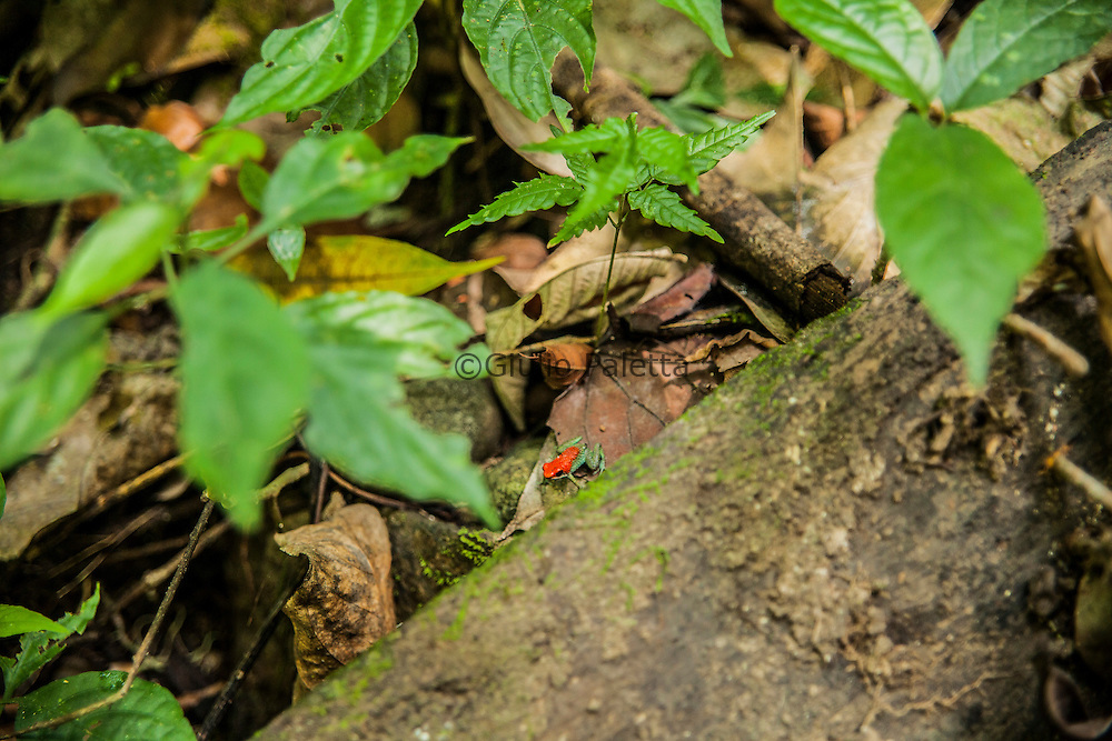 One of the many poisonous animals in the forest surrounding Finca Bellavista