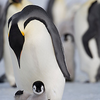 Antarctica, Snow Hill Island, Emperor Penguin Chick(Aptenodytes forsteri) slips and falls on frozen sea ice on sunny afternoon