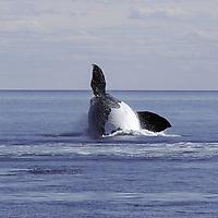 Southern Right Whale ( Eubalaena australis )  - breaching sequence&amp;#xA;Atlantic Ocean , Peninsula Valdez , Patagonia , Argentina&amp;#xA;( endangered powerful marine mammal cetacean antarctic&amp;#xA;&copy; KIKE CALVO - V&amp;W<br />