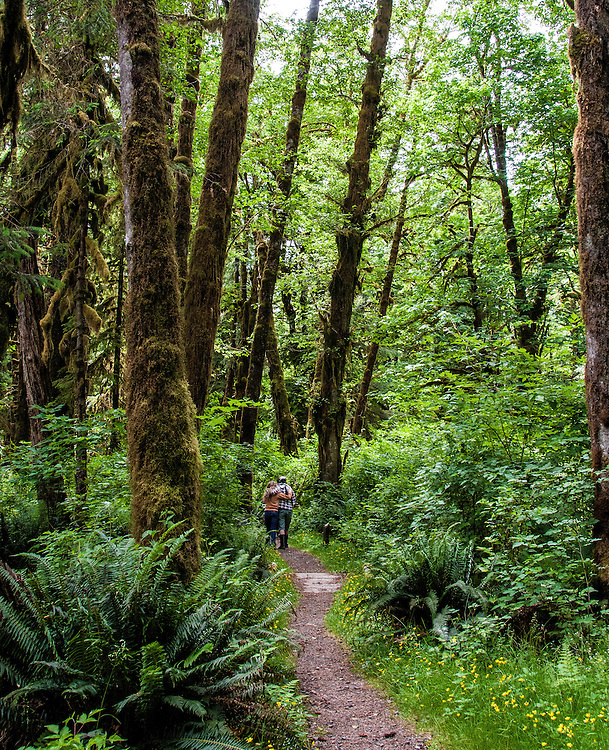 Dwarfed by the tall rainforest trees, two people walk in Hoh Rainforest, Olympic National Park, Washington.