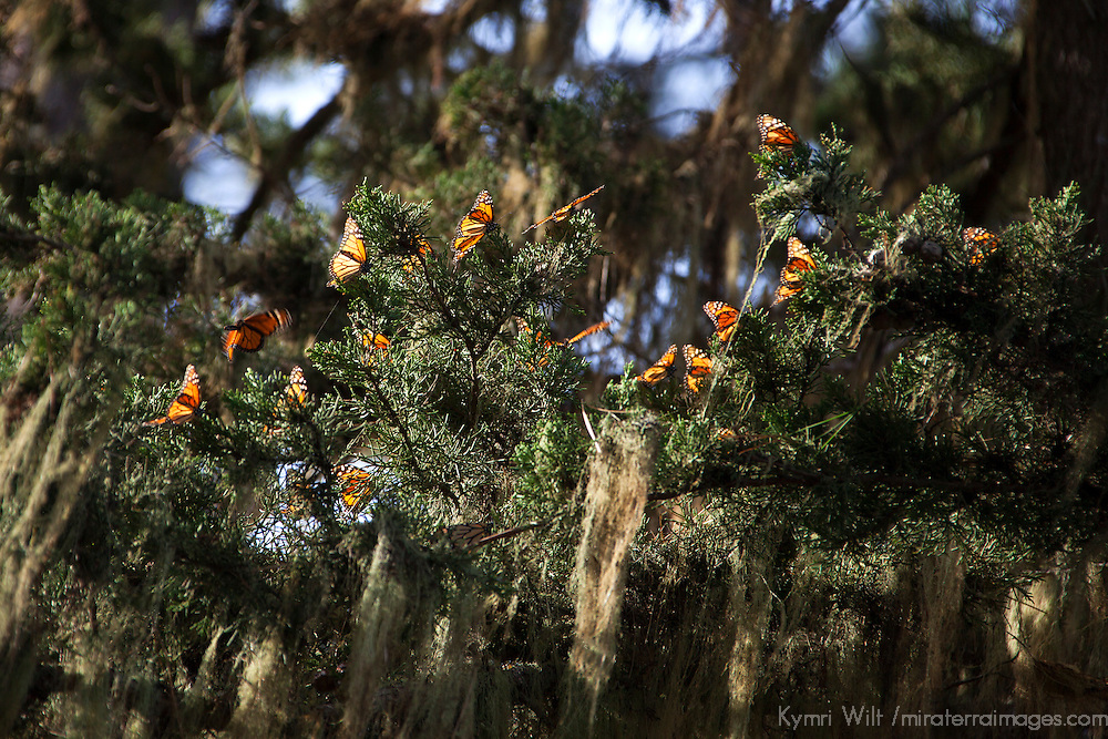 USA, California, Monterey. Monarch Butterflies at Monarch Grove Butterfly Sanctuary.