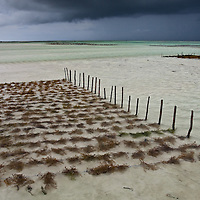 Farming sea weed on Paje beach, Zanzibar