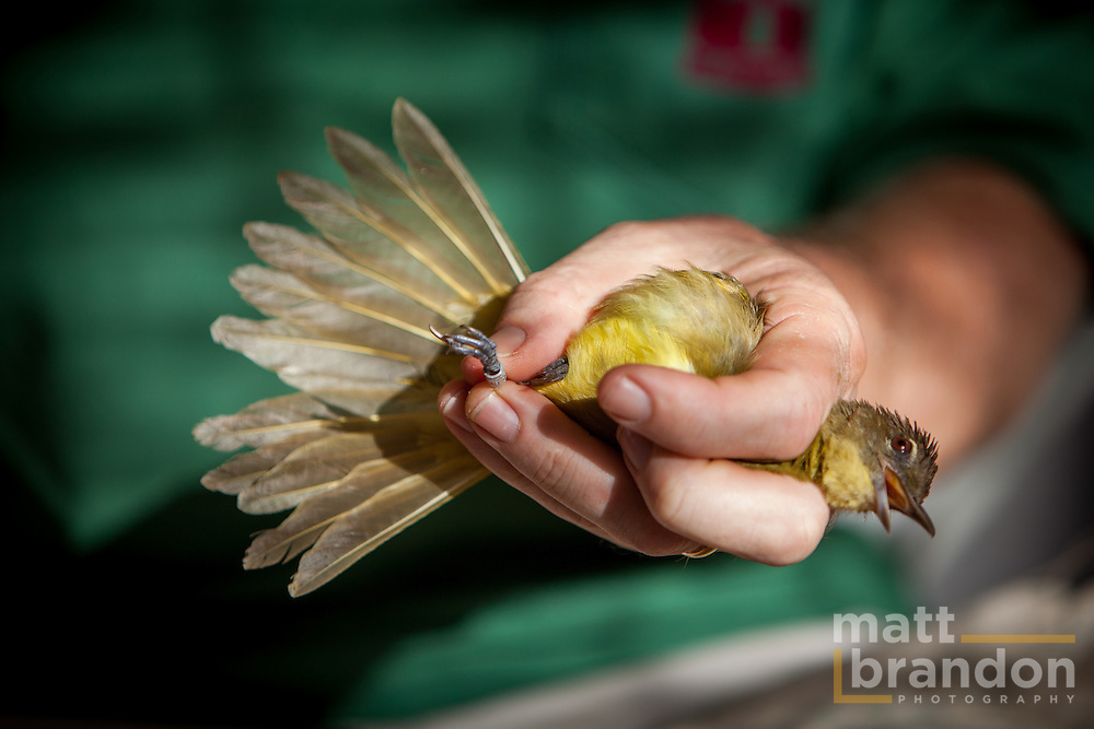 The ring is securely but loosely attached to the bird's leg.