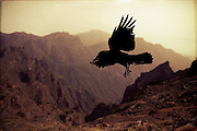 Silhouette of a raven in flight<br /> <br /> Prints: http://society6.com/DirkWuestenhagenImagery