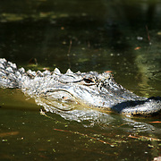 A large alligator floating in a pond in the forest on Jekyll Island.