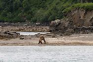 Alaska Brown Bears Katmai NP