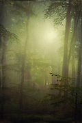 Beech tree forest on a misty and wet  summer morning - texturized photogaph