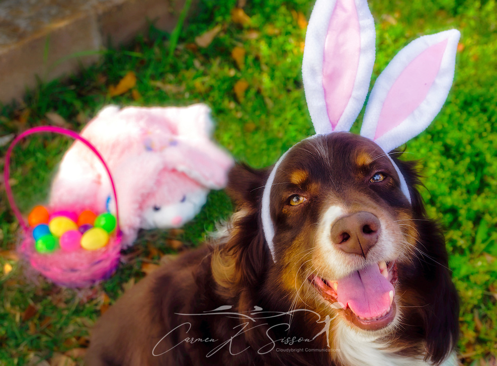 Cowboy, a six-year-old Australian Shepherd, wears bunny ears for an Easter Portrait, April 21, 2014. Behind him is an Easter basket with eggs and a stuffed bunny. (Photo by Carmen K. Sisson/Cloudybright)