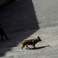 Dog in Santiago de Compostela, Galicia . Spain . The WAY OF SAINT JAMES or CAMINO DE SANTIAGO following the French Route, between Saint Jean Pied de Port and Santiago de Compostela in Galicia, SPAIN. Tradition says that the body and head of St. James, after his execution circa. 44 AD, was taken by boat from Jerusalem to Santiago de Compostela. The Cathedral built to keep the remains has long been regarded as important as Rome and Jerusalem in terms of Christian religious significance, a site worthy to be a pilgrimage destination for over a thousand years. In addition to people undertaking a religious pilgrimage, there are many travellers and hikers who nowadays walk the route for non-religious reasons: travel, sport, or simply the challenge of weeks of walking in a foreign land. In Spain there are many different paths to reach Santiago. The three main ones are the French, the Silver and the Coastal or Northern Way. The pilgrimage was named one of UNESCO's World Heritage Sites in 1993. When there is a Holy Compostellan Year (whenever July 25 falls on a Sunday; the next will be 2010) the Galician government's Xacobeo tourism campaign is unleashed once more. Last Compostellan year was 2004 and the number of pilgrims increased to almost 200.000 people.