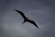 Fregeta minor (Greater Frigate Bird)