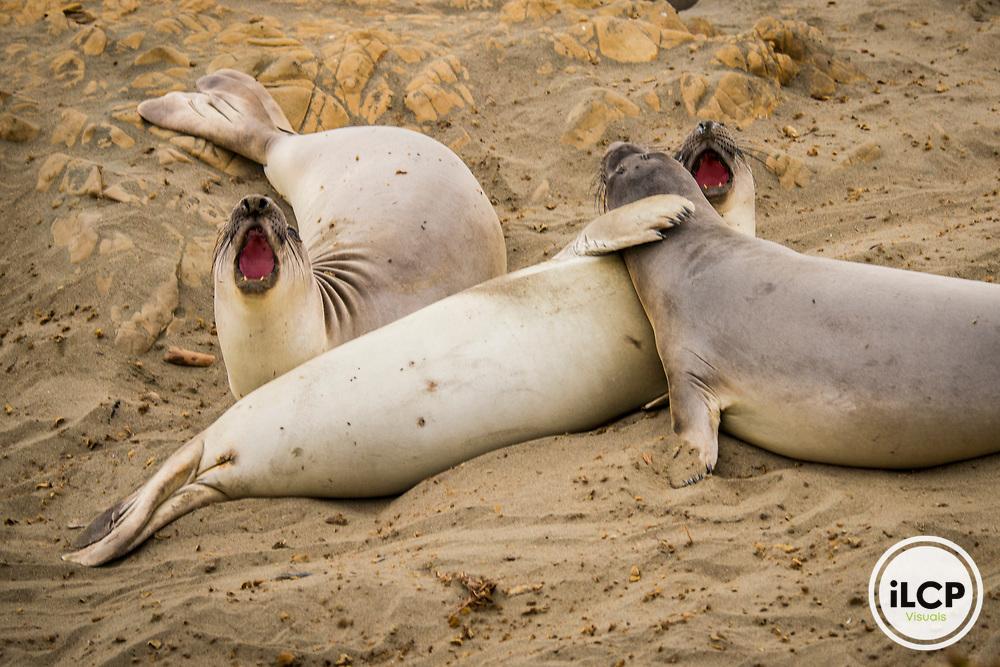 USA California, No Water No Life CA Drought Expedition # 5, Central California Coast, San Simeon, Piedras Blancas Elephant Seal Rookery, elephant seals on beach