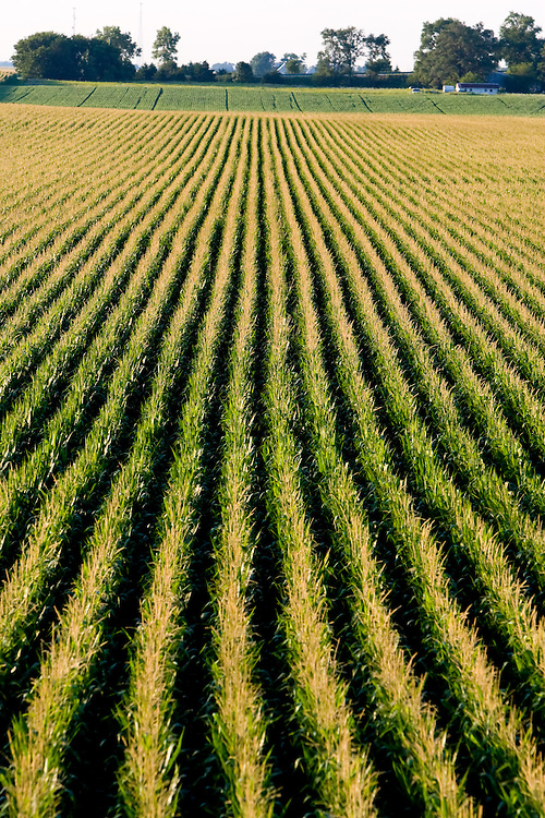 The symmetrical rows of corn stretch to the horizon in a field in east central Illinois.