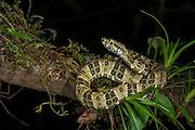 Speckled forest-pitviper (Bothriopsis taeniata)<br /> Amazon<br /> ECUADOR<br /> Vivarium ID # 2928<br /> Captive