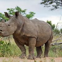 South Africa, Mpumalanga Province, Sabi Sands Game Reserve, White Rhinoceros (Cerototherium simum) sniffs the air at sunrise in grasslands