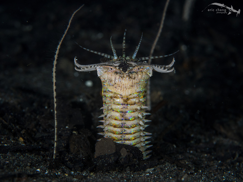 A bobbit worm (Eunice aphroditois) extends out of its burrow in the sand. Cannibal Rock, Horseshoe Bay, Komodo National Park, Indonesia.
